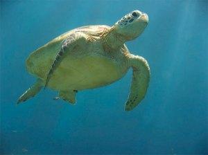 sea-turtle1
