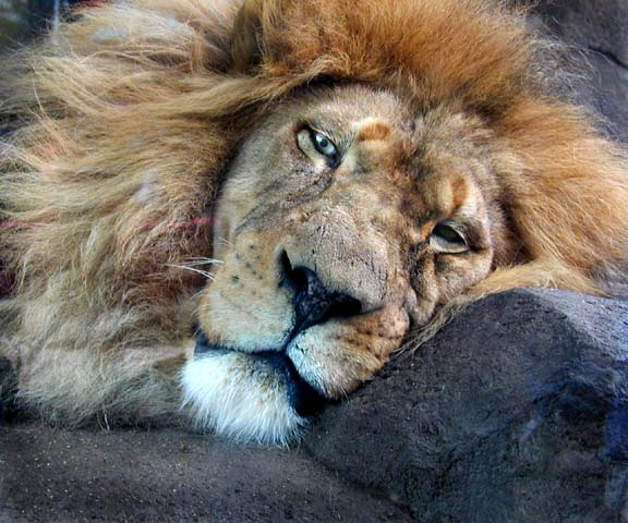 sleeping_lion